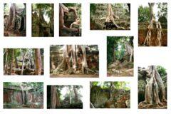 Würgefeigen/ Angkor